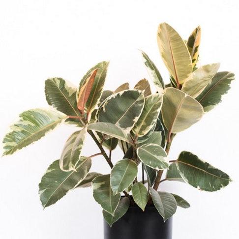 Ficus Elastica/Rubber Tree Variegated