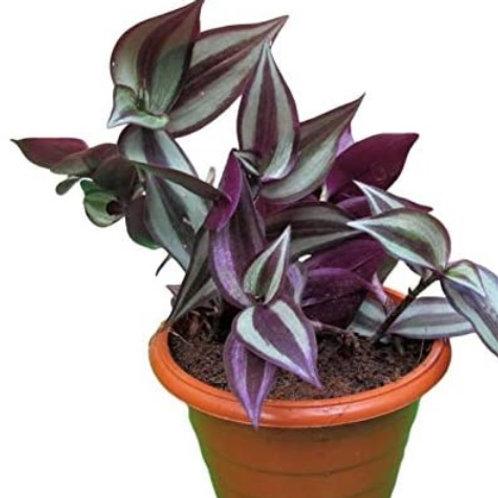 Tradescantia/Wandering Jew - Purple