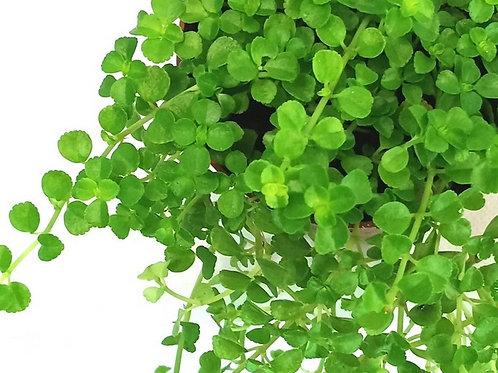 Pilea Depressa Dk Green/Baby Tears Plant