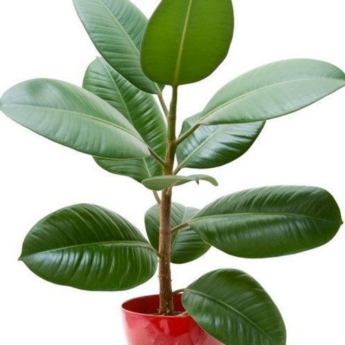 Ficus Elastica/Rubber Tree