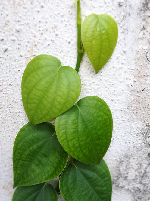 Betel/Paan Leaf/Kulkatta