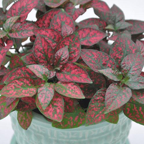 Polka Dot Plant Red