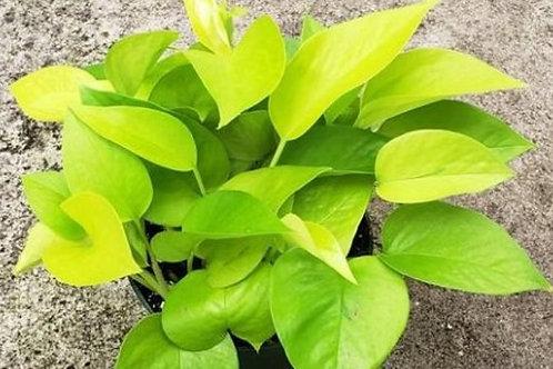 Money Plant Neon