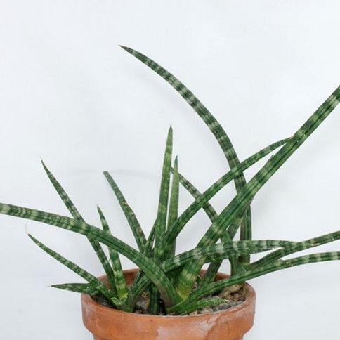 Sanseiveria Cylindrica