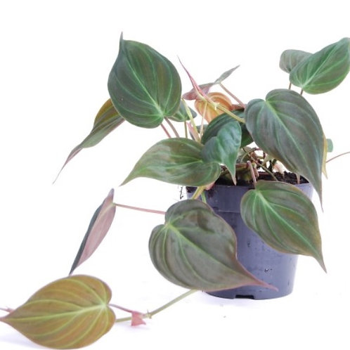 Philodendron Black Gold