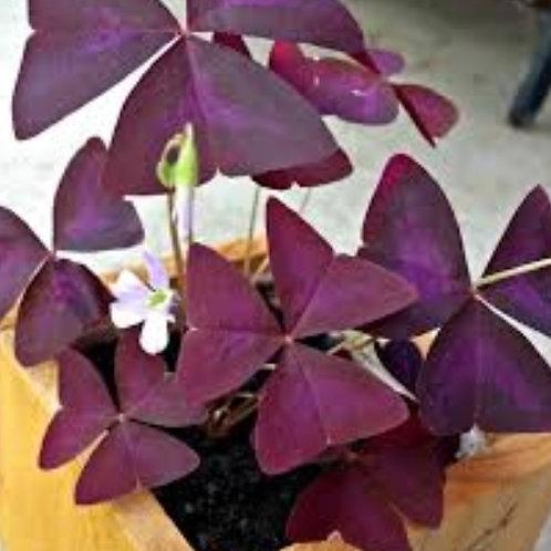 Oxalis Regnelli/Butterfly Plant