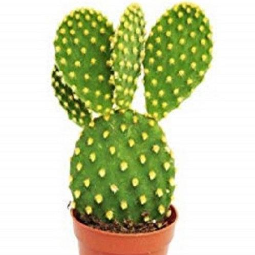 Opuntia Bunny Ear Cactus