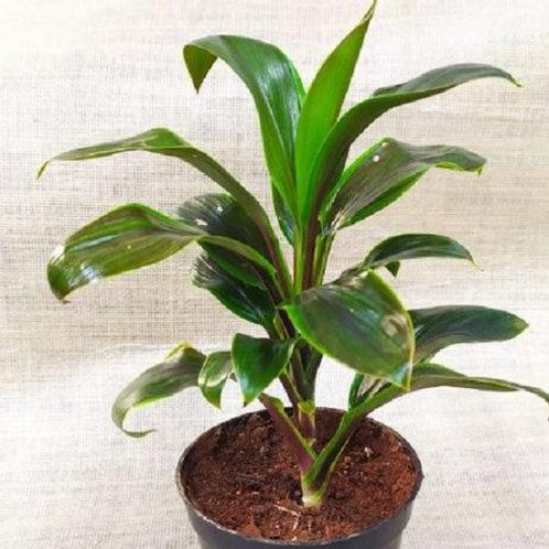 Cordyline Fruticosa/Babydoll Green