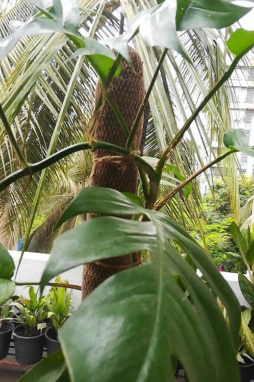 Epipremnum Pinnatum/Native Monstera - Plant Studio Special