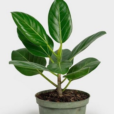 Ficus Benghalensis/Audrey