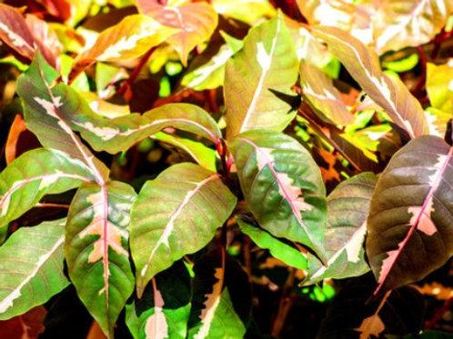 Pseuderanthemum Variegated