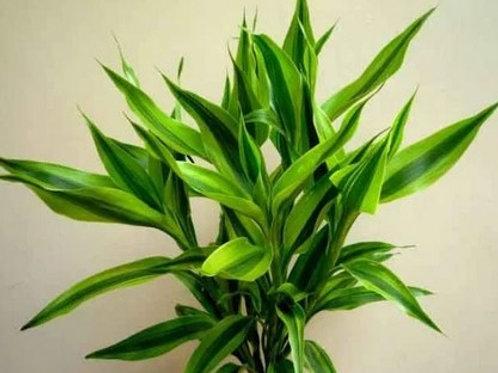 Dracaena Lucky Bamboo Dark Green Variegata