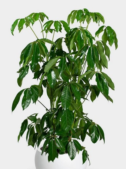 Schefflera Green