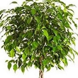 Weeping Fig/Ficus
