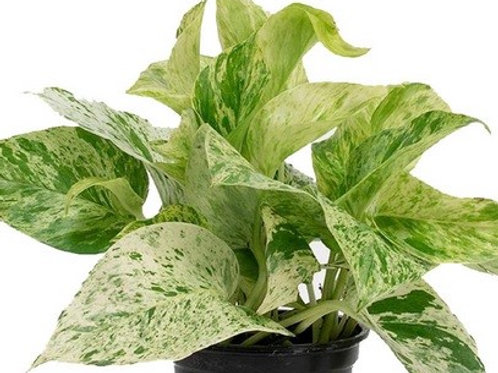 Money Plant Marble Queen