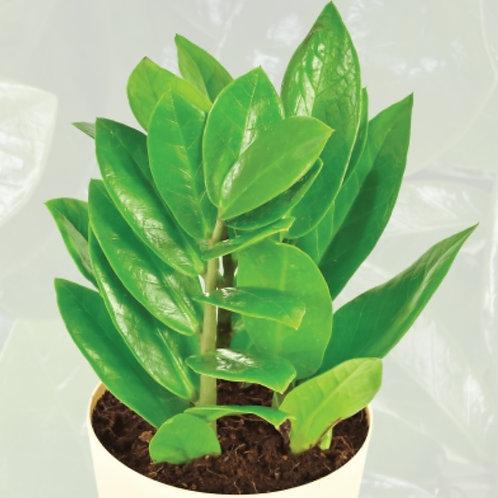 Zamioculcas/ZZ Plant Zamicro