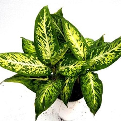 Dieffenbachia Sparkle