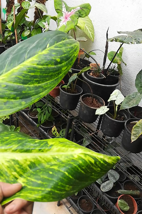Aglaonema Brilliant - Plant Studio Special