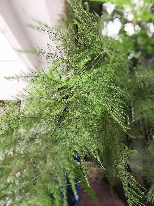 Asparagus Plumosus/Bridal Fern