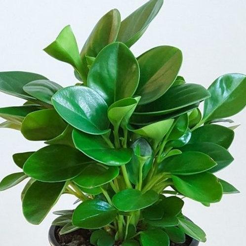Peperomia Jade