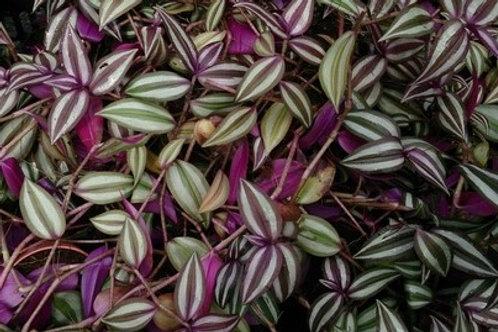 Tradescentia/Wandering Jew Purple