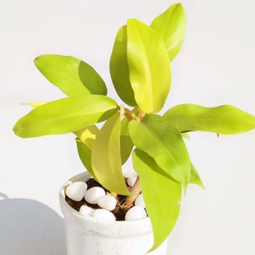 Philodendron Ceylon Gold
