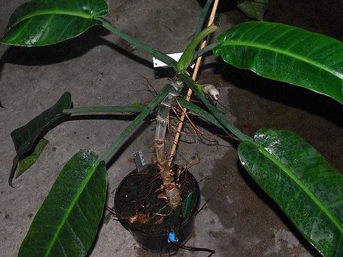Philodendron Annulatum