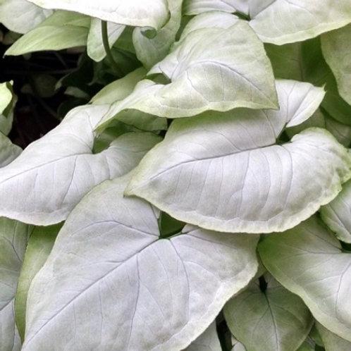 Syngonium White Allusion