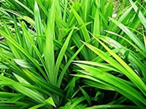 Pandanus /Basmati Plant