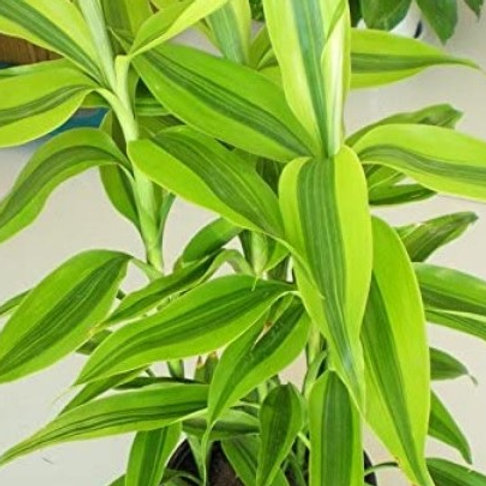 Dracaena Lucky Bamboo Light Green Variegata