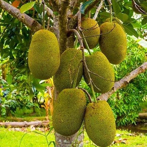 Jackfruit/Kaththal