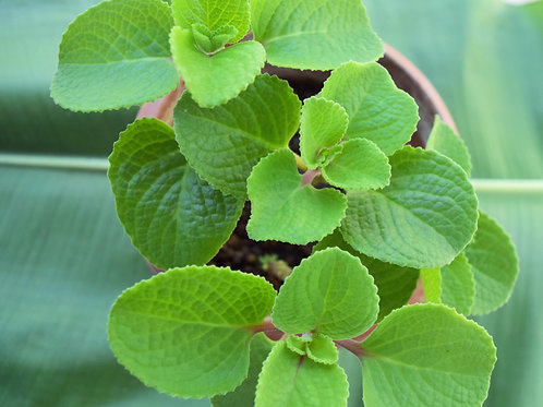 "Indian Borage ""Ajwain"" Round Tip"