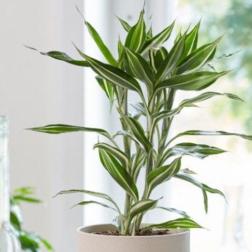 Dracaena Lucky Bamboo White Green Variegata
