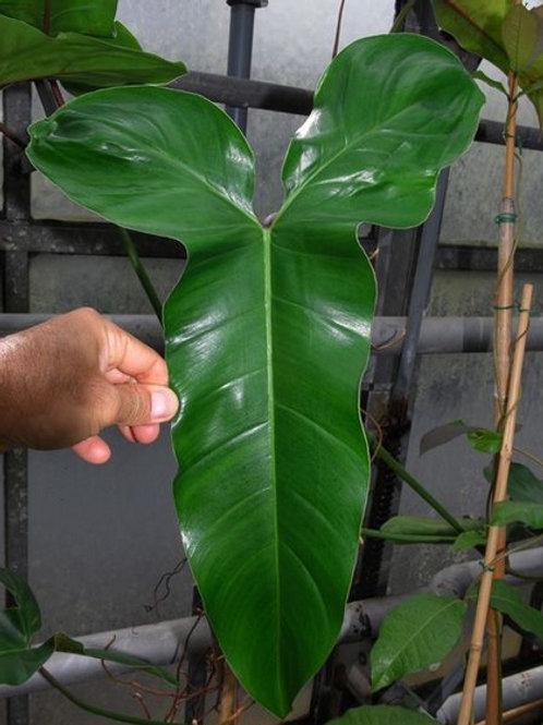 Philodendron Angustilobum