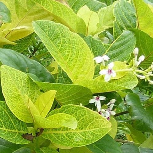 Pseuderanthemum Lt Green