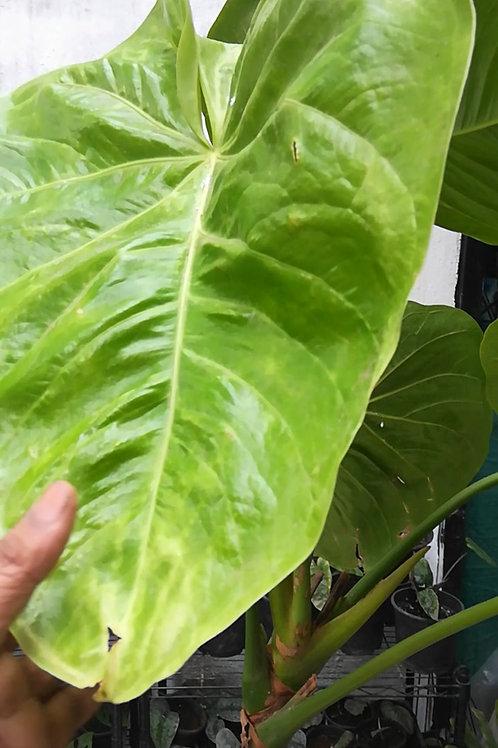 Anthurium Faustino's Giant - Plant Studio Special