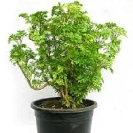 Aralia Ming Green
