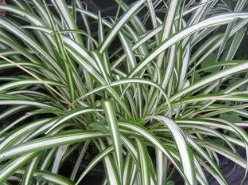 Spider/Chlorophytum Vittatum