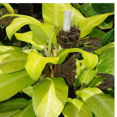 Philodendron Ceylon Gold