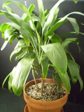 Cordyline Fruticosa Glauca