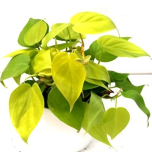 Philodendron Heartleaf Neon Green