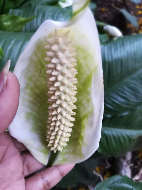 Anthurium/White Peace Lily