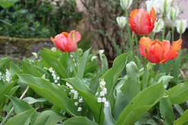 Lily of the valley and Apricot Parrottulips