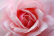 ob_ee1679_ob-614cd9-roserose.jpg