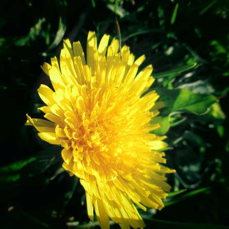 A Dandy dandelion