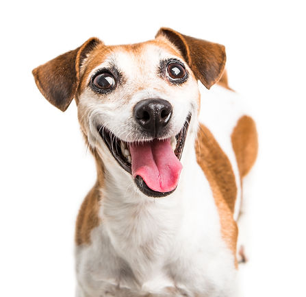 Cheerful smiling happy dog Jack Russell