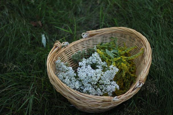 Yarrow and Goldenrod harvest