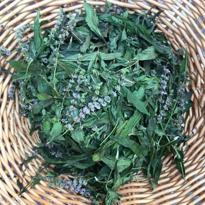 Wild Mint harvest for a distillation