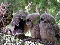 Holiday Farm Fire area's spotted owls