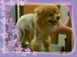Lion Cut on Pom.jpg